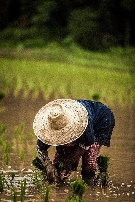 Γιατί υπάρχει αρσενικό στο ρύζι