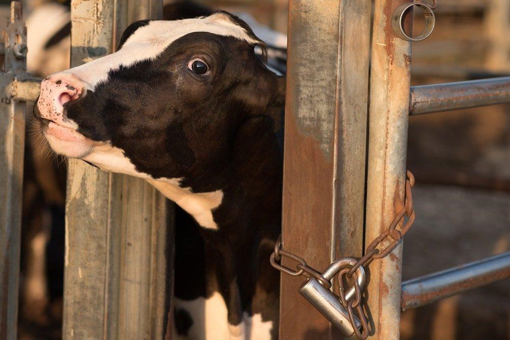 Η αγελάδα δεν προορίζεται να παράγει γάλα συνεχώς